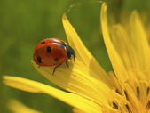 Red ladybug on yellow flower — Stock Photo