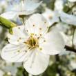 Flower of plum - Stock Photo