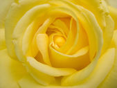 Beauty yellow rose — Stock Photo