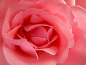 Beauty pink rose — Stock Photo