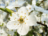 Flower of plum — Stock Photo