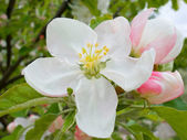 Flower of apple-tree — Stock Photo