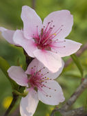 Flower of plum-tree — Stock Photo