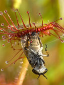 Sundew — Stock Photo