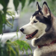 Stock Photo: Husky portret