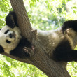 Royalty-Free Stock Photo: Panda