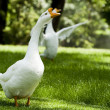 goose — Stock Photo #2202428