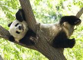 Panda — Stock Photo