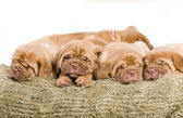 Nice Puppy Sleeping — Stock Photo