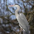 Stock Photo: Great blue heron