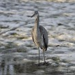 Resting heron - Stock Photo