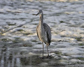 Resting heron — Stock Photo