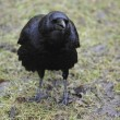 Carrion Crow - Stock Photo