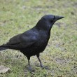 Carrion Crow — Stock Photo #2460821