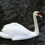 Mute swan — Stock Photo #2462016