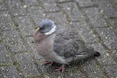 Wood pigeon — Stock Photo