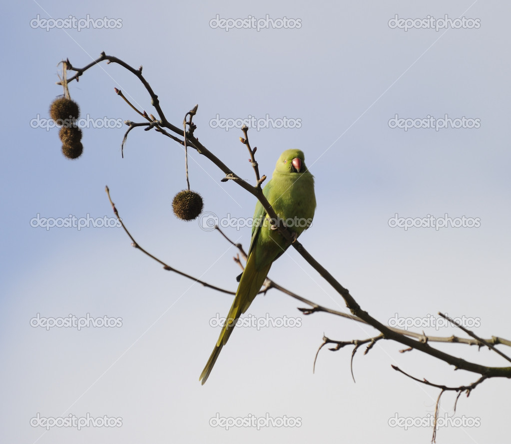 Rose ringed parakeet roosting on branch with beautiful cloudy blue sky as background  Stock Photo #2462133