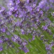 Stock Photo: Honeybee on a lavender flower