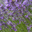 Honeybee on a lavender flower — Stock Photo