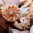 Seashells closeup — 图库照片
