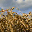 Wheat crop — Foto de Stock