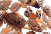 Conchiglie marinara — Foto Stock