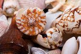 Seashells closeup — Stock Photo
