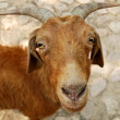 Goat — Stock Photo #1838479