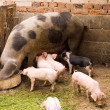 Pigs — Stock Photo #1867198