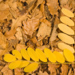 fall leaves — Stock Photo #2360301