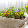 Stock Photo: Spring Crocus