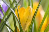 Spring Crocus — Stock Photo
