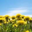 Dandelions — Stock Photo #1781268