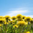 Royalty-Free Stock Photo: Dandelions