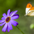 Butterfly flies to lilac flower — Stock Photo