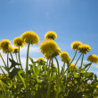 Yellow dandelions in the meadow clear — Stockfoto
