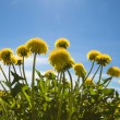 Yellow dandelions in the meadow clear — Stok fotoğraf