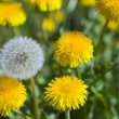White dandelion among yellow dandelions - Stock Photo