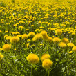 Dandelions — Stock Photo #1781847