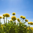 Yellow dandelions — Foto Stock