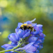 Bee on azure flower — Stock Photo #1782237
