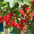 Clusters of red currant on bush — Stock Photo