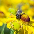 Bee on yellow flowers — Stock Photo