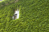 Ivy wall-mounted — Stock Photo
