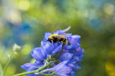 Bee on azure flower — Stock Photo