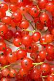 Bright branches of red currant — Stockfoto