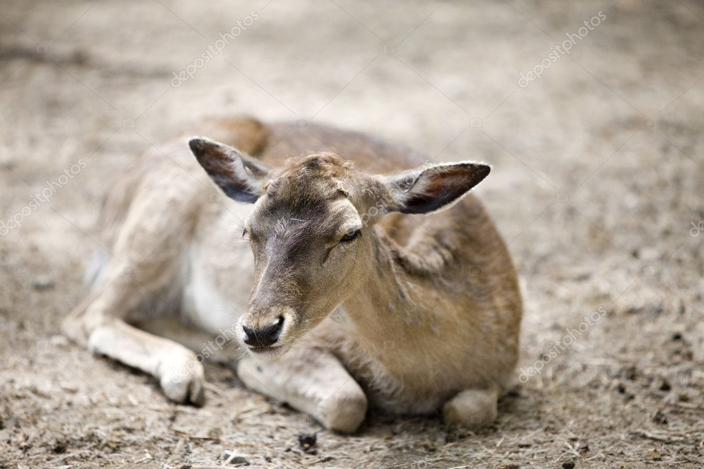 Baby of deer lays and looks on us — Stock Photo #1780535
