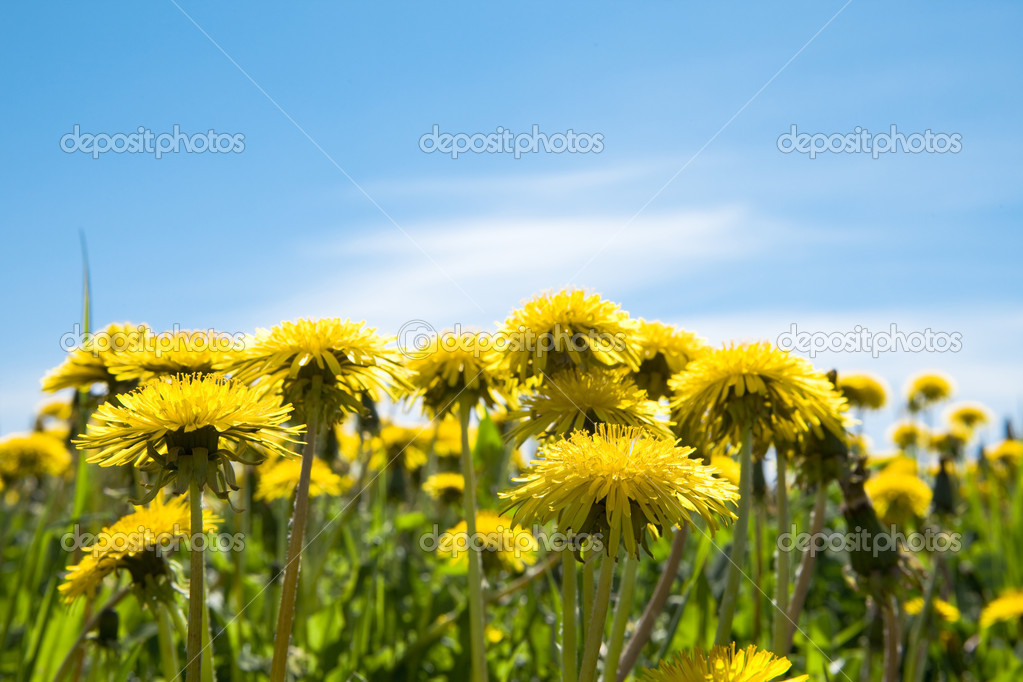 Yellow dandelions in the meadow clear solar summer's day — Stock Photo #1781268