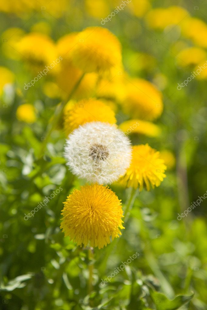 One white fading dandelion among yellow dandelions — Stock Photo #1781284