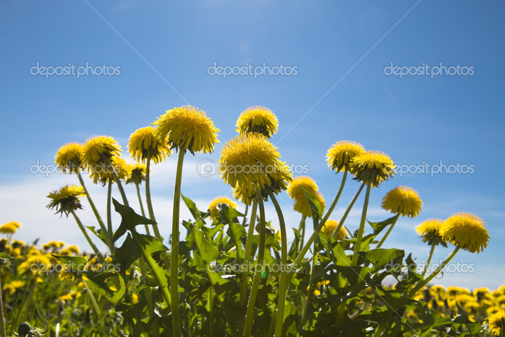Yellow dandelions in the meadow clear solar summer's day  Stock Photo #1781392